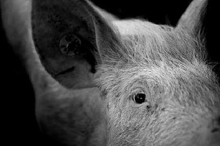 the herbert pig 画像